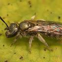 Lasioglossum morio