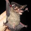 Tropical Big-eared Brown Bat
