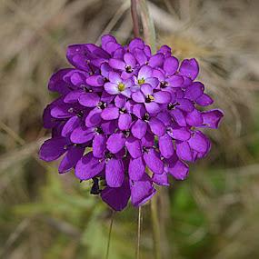 paarslicht  by Kathelijn Vlaemynck - Flowers Flowers in the Wild