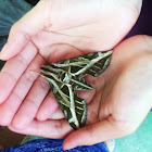 Vine Sphinx Moth