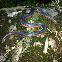 Western Worm Snake