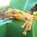 Veragua cross-banded tree frog