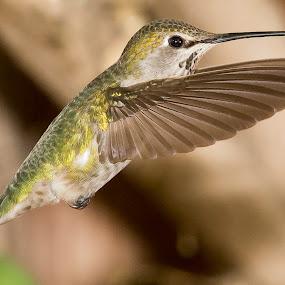 Hummmmmmmmmmmmm by Jim Malone - Animals Birds