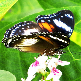 butterfly and flower by Wawan Adi - Animals Insects & Spiders