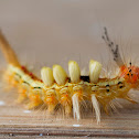 White marked Tussock Moth