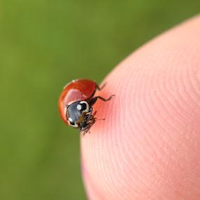 Little Lady by Brendan Mcmenamy - Novices Only Macro ( macro, little, bug, lady, ladybug )