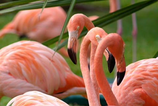 Cozumel-flamingo - A flock of tangerine-colored flamingos on Cozumel.