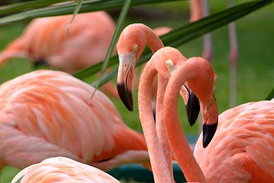 A flock of tangerine-colored flamingo on Cozumel.