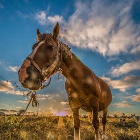 sIMPÁTICO by José Vieira - Animals Horses