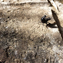 Devil's coach horse beetle