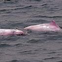Chinese PinkDolphin