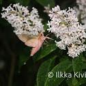 Elephant Hawk-moth