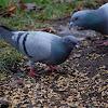 Feral Pigeon (city pigeons)