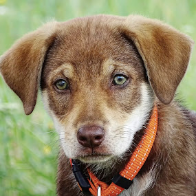 cuty :) by Boris Romac - Animals - Dogs Puppies ( sony, pupy, croatia, coguar, dog, hx400v )