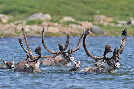caribou-herd-Quebec - Caribou migrate in Nunavik, northern Quebec, Canada.