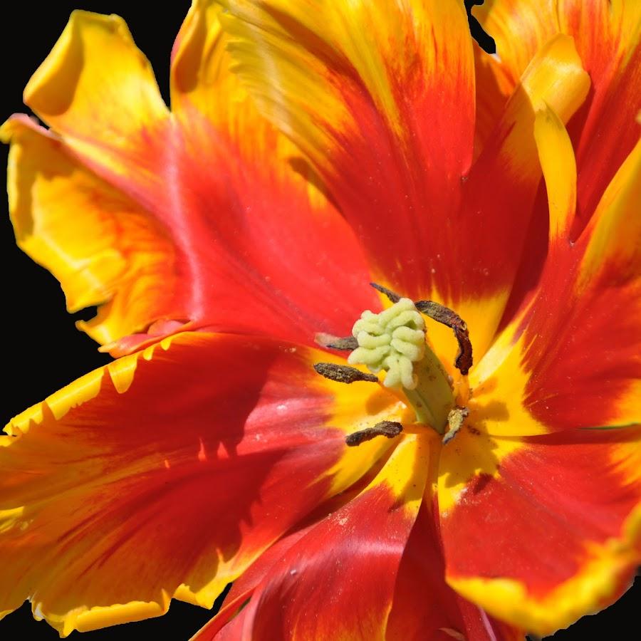 Flower on Fire by Dawn Hoehn Hagler - Flowers Single Flower ( lombard, orange, yellow, lilacia park, flower,  )