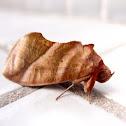 大灰枯葉蛾Lebeda nobilis