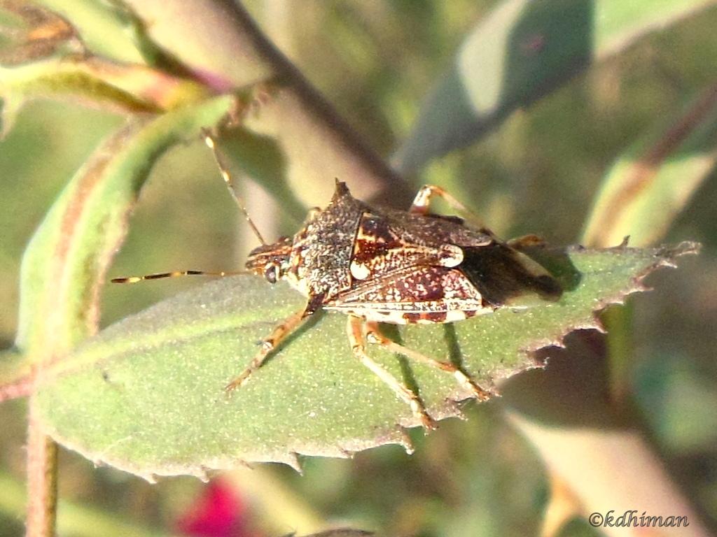 Predatory Sting Bug