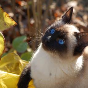 Blue Eyed Cat by Bogdan Blaga - Animals - Cats Portraits ( cat, yellow leaves, blue eyed cat, oriental cat, siamese )