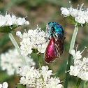 Polyphagous cuckoo wasp