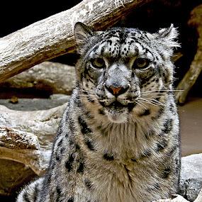 Snow Lepord by Howard Mattix - Animals Lions, Tigers & Big Cats ( cats, zoo, large cats, portraits,  )