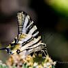 Borboleta-zebra