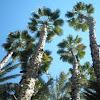 Palmera de abanico mexicana. Mexican Fan Palm