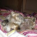 Yorkshire Terrier/Poodle mix (Yorkiepoo)