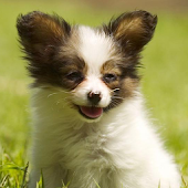 Papillons Dog Wallpapers