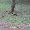 Korean Squirrel