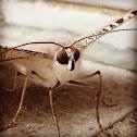 大燕蛾(Lyssa Zampa)
