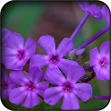 Violet Flowers Wallpapers icon