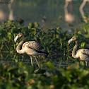 Greater Flamingo & Juvenile