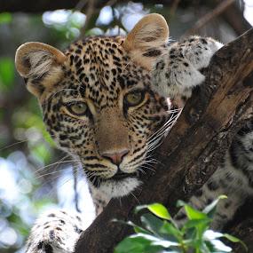 by Kjetil Salomonsen - Animals Lions, Tigers & Big Cats