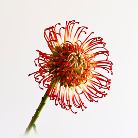 Protea by Simon Joubert - Flowers Single Flower ( red, south, protea, yellow, africa, simon joubert, flower )