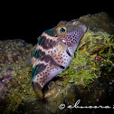 Valentinni's sharpnose puffer or Black saddled toby