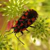 Lygaeid Bug