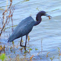 Little Blue Heron hunting Crayfish