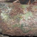 Termite spp
