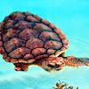 Loggerhead Sea Turtle (subadult)