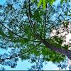 Long Leaf Pine Tree (Southern Yellow Pine)
