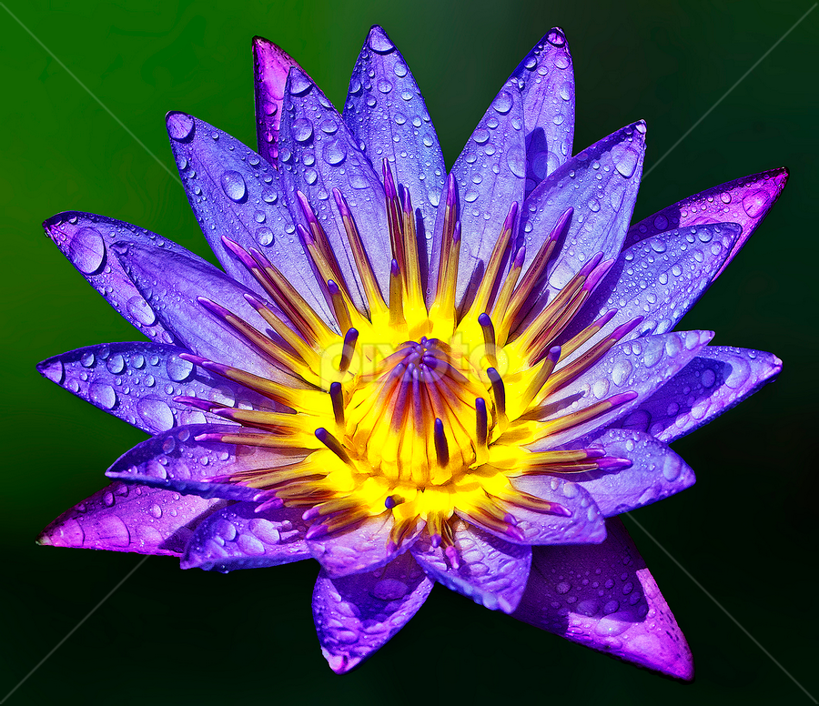 by Charliemagne Unggay - Flowers Single Flower ( purple, yellow, color )