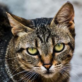 by Pol Lo Schienato - Animals - Cats Portraits