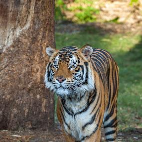 by Mick McKean - Animals Lions, Tigers & Big Cats ( animals, queensland, tiger, coomera, alert, wildlife, captive, stalking, stripes,  )