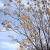 Agriaz, paraíso sombrilla, árbol del paraíso