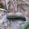 Scarlet Tiger Moth (caterpillar)