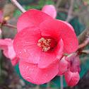 Flor de codony japonès