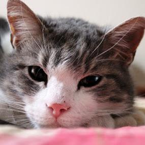 Shakespere by Dan Bartlett - Animals - Cats Portraits ( blanket, cat, relaxed, mellow, grey,  )