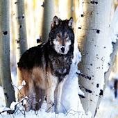 3D Single Wolf