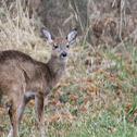 White tail Deer (Juvenile)